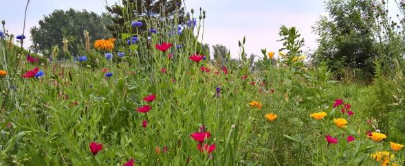 Wildblumeneinsaat, Wildblumenwiese