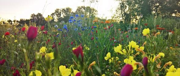 Garten anlegen mit Blumenwiese